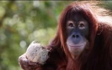 A Primate