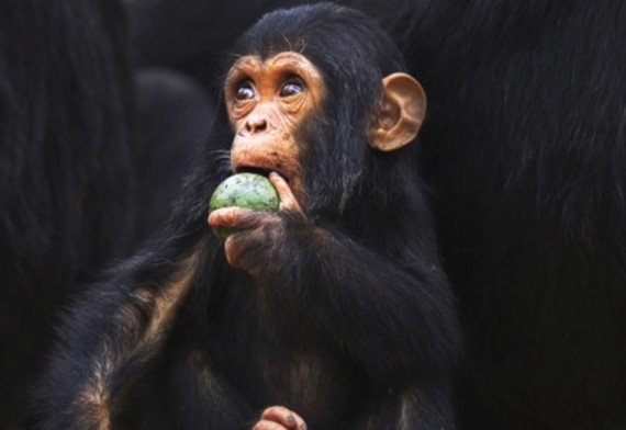A Primate Eating Fruit
