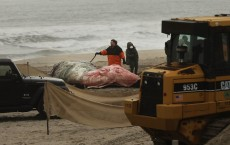 Dead Whale Washes Up On New York Beach