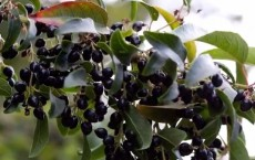 Low-Cost Solar Cells Using Jamun Fruit