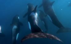 Orcas: Killer Whales