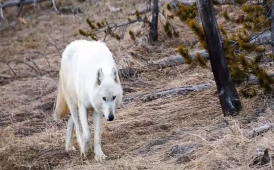 Rare White Wolf In Yellowstone Park