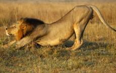 Male Lions Adopt Ambush Style Hunting: Study