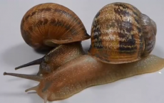 Shell shocked Rare snail loses out in love triangle