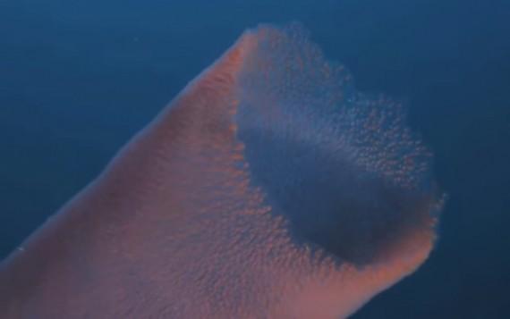 Pyrosome