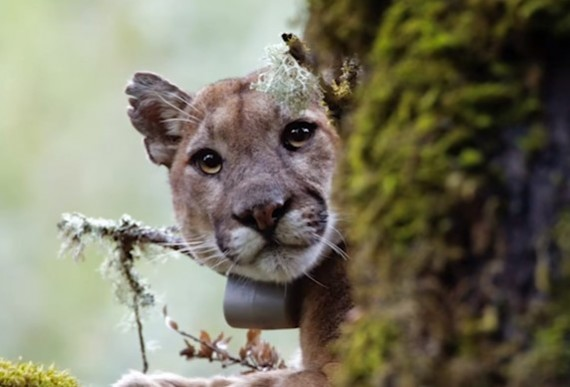 Scientists Discover Something Surprising About Mountain Lions