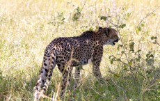 Humans Responsible for Plummeting Numbers of Cheetah in Wild