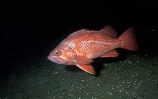 Record Breaking Rockfish That is Centuries Old Being Caught Off Alaska