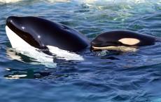 Puget Sound's Killer Whale