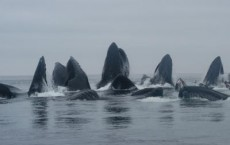 Five distinct humpback whale populations identified in North Pacific