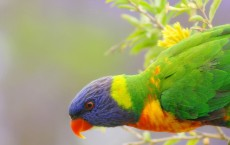 Colored Lorikeet