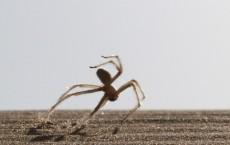 Flic-Flac Spider