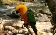 Parrot, Sun Conure