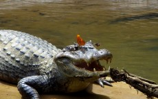 Crocodile and Butterfly