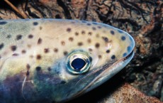 Cutthroat trout could be facing extinction due to warmer waters and invasive fish.