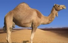 Researchers Identify Equine Influenza Virus in Camels
