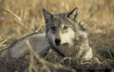 Gray wolves are found in the northwestern U.S. as well as Mexico.