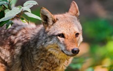 Coyotes were the biggest victim in 2013, with over 75,000 killed.