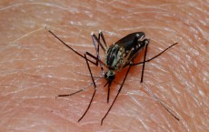 Mosquitos is the insect vector of the notorious Dengue disease wide spread in tropical countries.