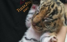Three Endangered Malayan Tiger Cubs Born at Tulsa Zoo