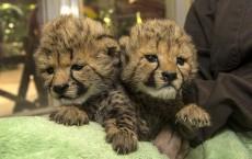 Newly Born Cheetah Cubs Hand Reared at San Diego Zoo