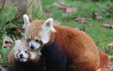 Belfast Zoo Celebrate the First Red Panda Birth in 18 Years
