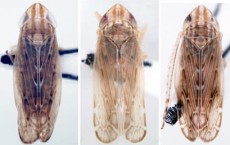 Three New Leafhopper Species Identified