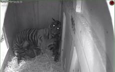 Three Sumatran Tiger Cubs Born at Point Defiance Zoo & Aquarium