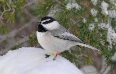 Mountain Chickadees Live Year-Round in Harsh Sierra Nevada Climate (IMAGE)