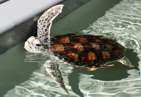 Baby Green Sea Turtle (IMAGE)