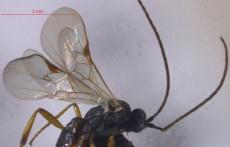 Microplitis bomiensis sp. nov. (IMAGE)